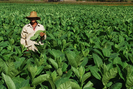Tobacco plants.