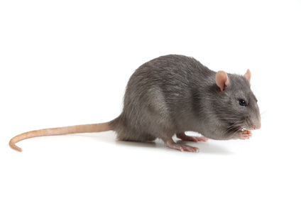 Rat on a white background.