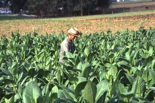A man works in a field of tobacco plants.