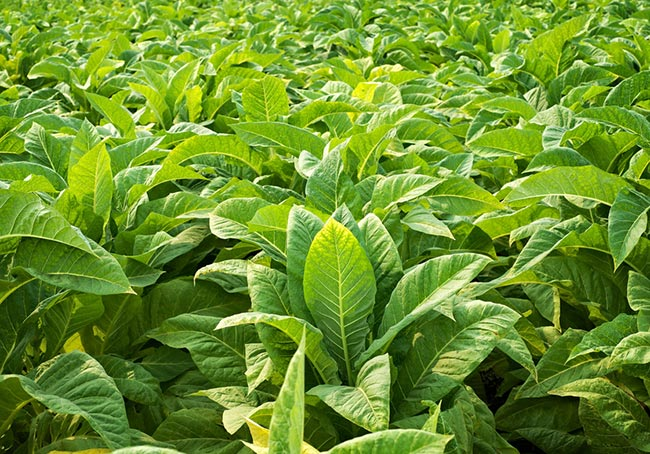 Tobacco plants - still the main source of nicotine, even in non-combustible forms.